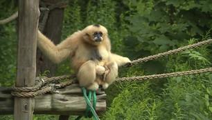 Nowy mieszkaniec wrocławskiego zoo. Na świat przyszedł mały gibon