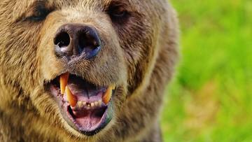 02-09-2016 14:04 Walczył z niedźwiedziem. Znajomość karate uratowała mu życie