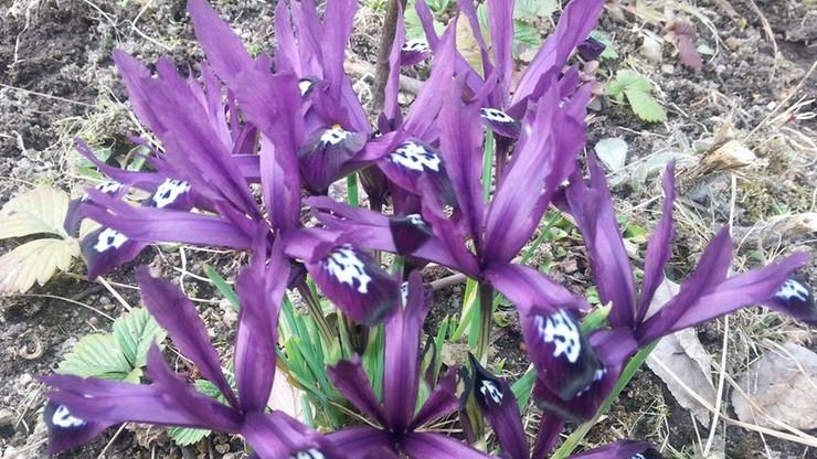 2017-03-21 Wiosna przyszła do ogrodów