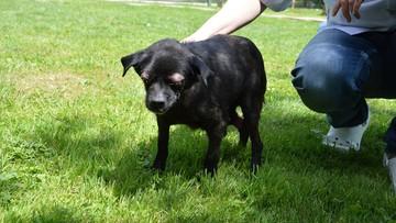 Skatowany pies Oczko na pierwszym spacerze. Wzruszające zdjęcia