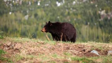 21-06-2016 07:05 Niedźwiedź poranił uczestniczkę maratonu w Nowym Meksyku