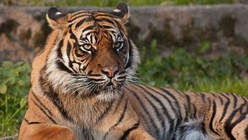 2016-10-27 Tygrys zaatakował trenerkę na oczach przerażonych dzieci