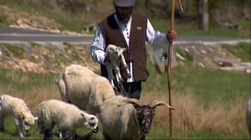 08-05-2016 20:13 Góry Izerskie: zamiast kosiarek zatrudnili owce