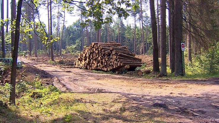 Greenpeace ostrzega nadleśniczych przed odpowiedzialnością prawną za wycinkę w Puszczy Białowieskiej