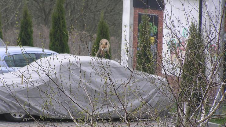 Lis stałym gościem osiedla Czuby w Lublinie