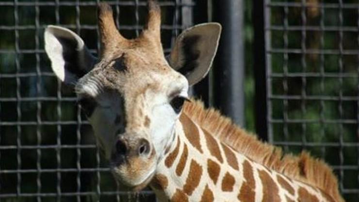 Nie żyje Żyrafek Gortat z warszawskiego zoo
