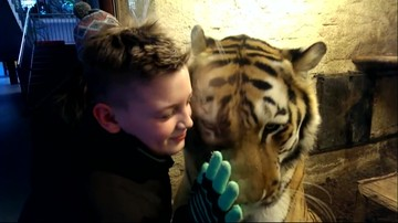 18-01-2016 14:30 Tygrys Wincent z Zamościa podbija serca i internet