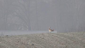 08-01-2016 09:54 Drop, gatunek ptaka uznany u nas za wymarły, pojawił się w Małopolsce