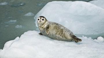 21-04-2017 19:54 Miliardy plastikowych odpadów w Oceanie Arktycznym. Zwierzęta w niebezpieczeństwie