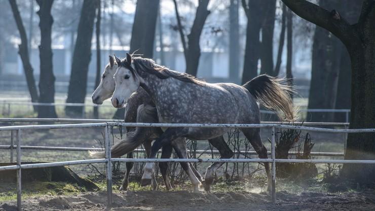 Będzie odrębne śledztwo ws. aukcji koni w Janowie Podlaskim