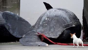 15-01-2016 13:42 Martwe wieloryby na holenderskiej plaży