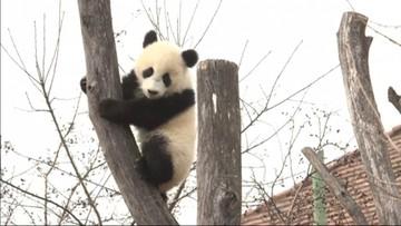 Kamuflaż i komunikacja. Naukowcy zbadali, dlaczego pandy są biało-czarne
