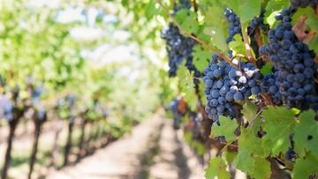 """26-09-2017 05:37 W Apulii """"praktycznie się nie śpi"""". Plaga kradzieży winorośli, oliwek i migdałów"""