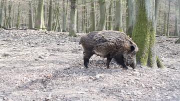 09-05-2016 08:09 Dzik pogonił wilka. W mazurskim lesie
