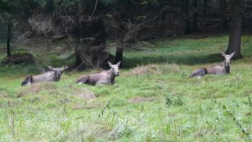 """MŚ chce przywrócić możliwość polowania na łosie. """"Łamią młode drzewa, zagryzają uprawy i powodują wypadki"""""""