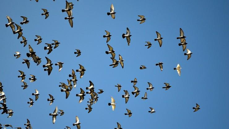 Prokurator żąda dla 79-latka 2 lat więzienia za horror 340 gołębi. W klatkach były trupy, brud, odchody i brak wody mimo upału