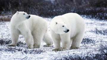 Niedźwiedzie polarne biegały po pasie startowym lotniska na Alasce. Zauważył je jeden z pracowników