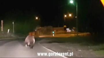 Niedźwiedzie grasują po ulicach miast Podhala.