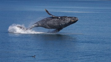 06-02-2016 06:54 Japonia: pasażerski prom uszkodzony po zderzeniu z wielorybem