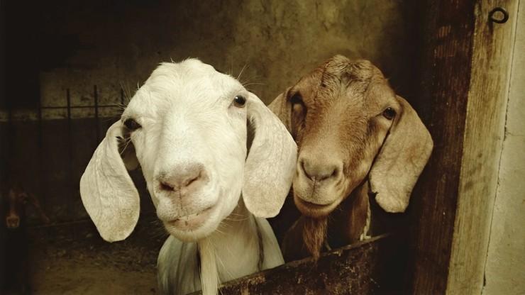 Koza - najlepszy przyjaciel człowieka. Ustalili to angielscy uczeni