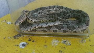 13-07-2017 11:40 Poszedł wyrzucić śmieci, znalazł węża zbożowego
