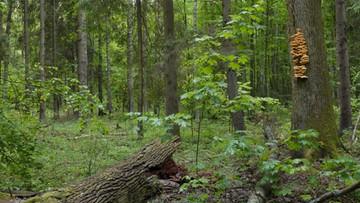 """13-06-2016 18:47 """"Wycinki drzew nie ma"""". Lasy Państwowe o sytuacji w Puszczy Białowieskiej"""
