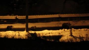 Niedźwiedzie w Tatrach nie idą spać. Biegają po ulicach Zakopanego