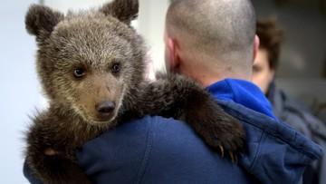 23-04-2016 10:10 Z Bieszczad do poznańskiego zoo. Przeprowadzka niedźwiedzicy