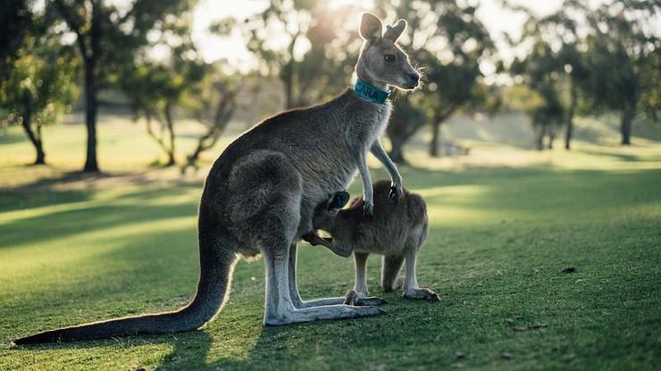 W Australii zabijają kangury. Do sierpnia odstrzelą 1900 osobników