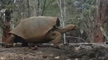 Naukowcy przywrócili do życia wymarły gatunek żółwia