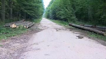 Ponad 93 tys. drzew wycięto w Puszczy Białowieskiej w 2017 roku
