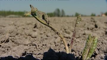 09-05-2016 11:51 W rolnictwie widać pierwsze symptomy suszy. Może być gorsza niż rok temu