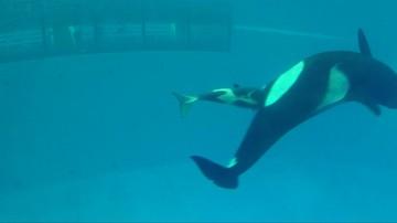 21-04-2017 12:17 Niesamowite wideo. Zobacz narodziny orki