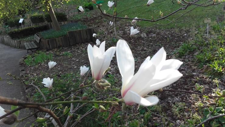 2017-04-08 Magnolie zakwitły w Ogrodzie Botanicznym Uniwersytetu Warszawskiego