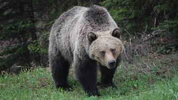 22-06-2017 22:08 Niedźwiedzie grizli z Yellowstone nie są już pod ochroną