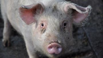 08-08-2016 17:21 Zawiadomienia do prokuratury i ABW ws. nowych przypadków afrykańskiego pomoru świń