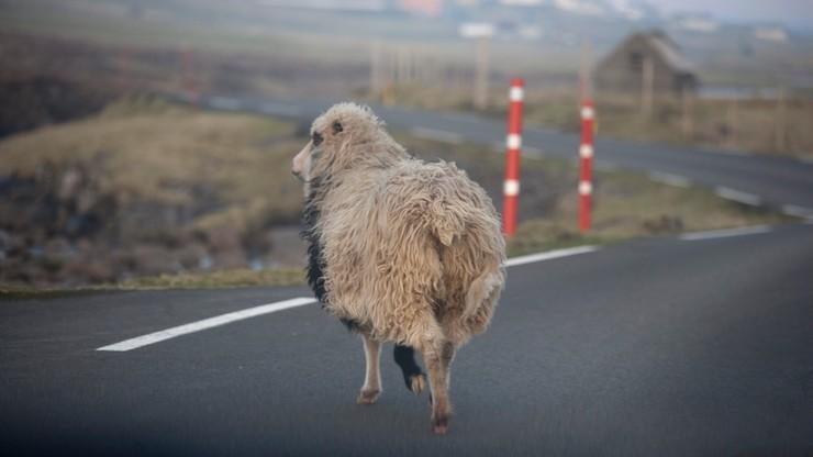 Sheep View, czyli owce kręcą filmy, by wypromować wyspy