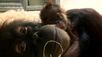 15-04-2016 14:12 Mały orangutan, który przyszedł na świat przez cesarskie cięcie, już pod opieką mamy