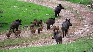 30-09-2016 20:08 30 tys. leśników i myśliwych ma policzyć dziki w Polsce