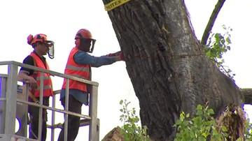 Ścięto ponad stuletnią topolę czarną. Baobab był symbolem Lublina