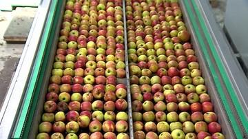 Polska wyśle do Chin kilka razy mniej jabłek niż mogłaby