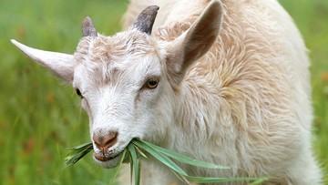 23-02-2017 06:07 W miasteczku na Sycylii ogrodnikiem jest koza