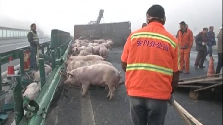 Nietypowy wypadek w Chinach. Blisko sto świń na drodze