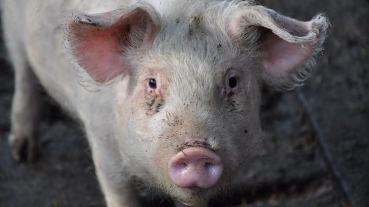 Kolejne ogniska afrykańskiego pomoru świń w Polsce