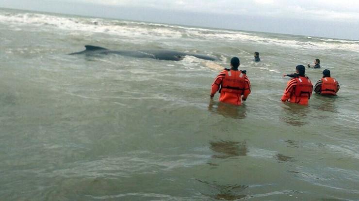 Ratowali wieloryba ponad dobę. 10-tonowy ssak ugrzązł na mieliźnie