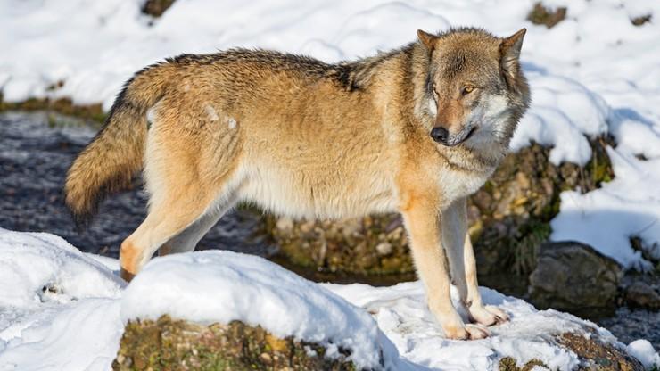 Wilki wróciły do Polski. Są gatunkiem chronionym, ale zagraża im człowiek