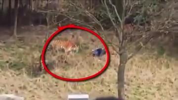 Chiny: tygrys rozszarpał mężczyznę na oczach rodziny