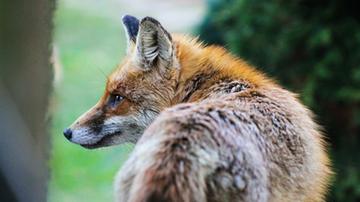 Inwazja lisów na olsztyńskim osiedlu. Mieszkańcy czują się zagrożeni