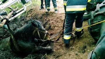 Koń ugrzązł w bagnie. Strażak zaczął tonąć podczas akcji ratunkowej
