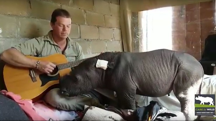 Nie chciała go matka. Opiekunowie grają nosorożcowi kołysanki na gitarze